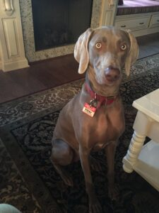 A silver-gray Weimaraner sits beside a coffee table.